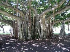 Amazing Trees - unusual trees from around the world ~ Must See Amazing, Funny, Weird, Shocking, Pleasant and Fun Pictures & Videos