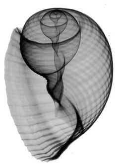 The sacred geometry within shells. An x-ray shows the Fibonacci spiral hidden within.