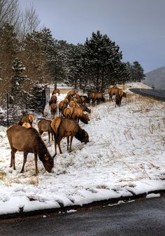 Roadside Elk near Estes Park, Colorado. We always saw tons of Elk when we hiked in Estes Park.