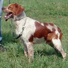 french brittany dog photo | French Britney Dog | Dog & Puppy Site