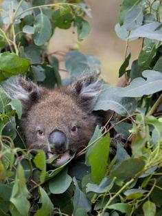 Koala (Phascolarctos Cinereus) in a Eucalyptus Tree,