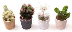 Modern Ribbed Potted Cactus Set - ideal gift for a friend or loved one- great for living room, kitchen or windowsills. Small Indoor Plants, Indoor Cactus, Cactus Gifts, Succulent Gifts, Ceramic Pots, Window Sill, Planter Pots, Succulents, Christmas Gifts