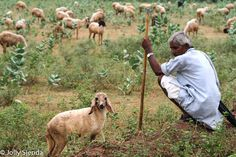 Sheep herder kneels on the ground near his sheep, Ranthambore, India. Photo by Jolly Sienda Photography.