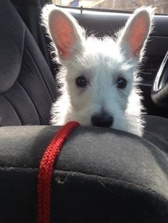 Am I big enough to drive yet? I can see over the arm rest now! Terrier Dogs, Terriers, Adorable Puppies, West Highland White, White Terrier, All Things Cute, White Dogs, Westies, Scottie