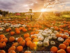 It's a beautiful day to pick out a at Dr. Maze's Farm in Redmond Wash. Photo by Shubha Tirumale by usatoday Harvest Time, You Take, Fall Photos, A Pumpkin, Beautiful Day, Beautiful Scenery, Fall Pumpkins, Countryside, Instagram Posts