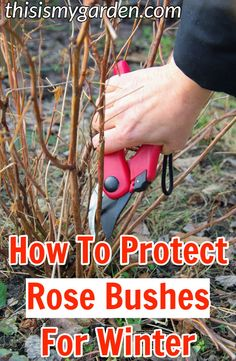 you need to do to protect your rose bushes for winter. What you need to do to protect your rose bushes for winter. What you need to do to protect your rose bushes for winter. Rose Bush Care, Rose Care, Garden Care, Trim Rose Bushes, When To Prune Roses, How To Plant Roses, How To Trim Roses, Rose Plant Care, Pruning Roses