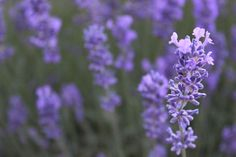 The beauty of lavender.