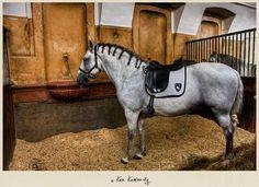 Lipizzaner horse at the Spanish Riding School... Love! <3  Photo taken by:  Ken Kaminesky