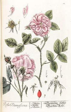 roses_flowers-00081 rosa damascena botanical floral botany natural naturalist nature flowers flower beautiful nice flora plants blooming ArtsCult.com Artscult ArtsCult vintage printable public domain 300 dpi commercial use 1800s 1700s 1900s Victorian Edwardian art clipart royalty free digital download picture collection pack paintings scan high qulity illustration old books pages supplies collage wall decoration ornaments Graphic engr