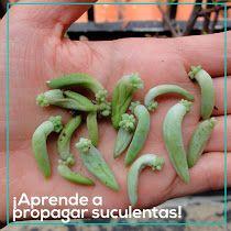 ¡Aprende a propagar suculentas!