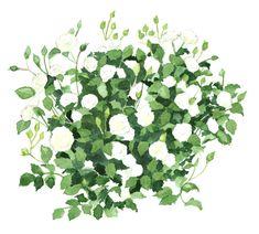 Rose Easy Elegance Snowdrift. Rosa. Watercolour on paper by Scott Jessop.