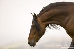 Ojai, CA, purebred horse, bay Andalusian stallion Pretty Horses, Horse Love, Beautiful Horses, Andalusian Horse, Friesian Horse, Arabian Horses, Horse Photos, Horse Pictures, Horse Riding Tips