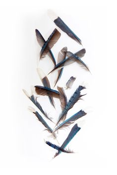 blue jay feathers (mary jo hoffman)