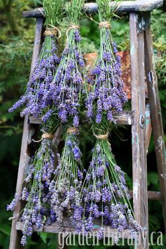 How to harvest and dry English Lavender. If only I have some English lavender to harvest. Lavender Blue, Lavender Fields, Drying Lavender, Lavender Plants, Lavender Lemonade, Lavender Garden, Lavender Flowers, Purple Flowers, Planting Lavender
