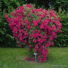 KORDES Rosen Super Excelsa - Kletterrosen - Gartenrosen Die schönsten Rosen der Welt