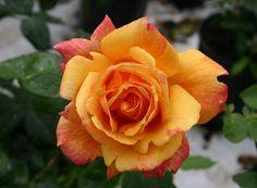 Rose - Sutter's Gold