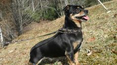 Seth is a sweet boy once he gets to know you, but as a little dog, he would probably do best around older children. He is approximately 4-5 years old, does not like other dogs getting into his face or being hyper & jumping on him, but tolerates...