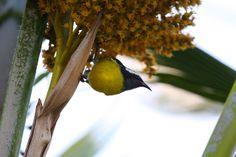 Bananaquit   Endless Wildlife