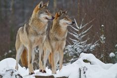 The Economic Benefits and Struggles of Wolves in Yellowstone