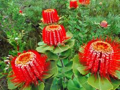 Scarlet Banksia flowers (Banksia coccinea), Fitzgerald River National Park, Australia - photo by Frans Lanting Unusual Flowers, Unusual Plants, Rare Flowers, Exotic Plants, Amazing Flowers, Beautiful Flowers, Australian Native Garden, Australian Native Flowers, Australian Plants