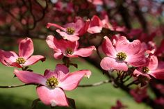 Cornus florida rubra /  flowering dogwood...