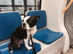 A Dog on Tube #milan