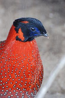 The Satyr Tragopan (Tragopan satyra), also known as the Crimson Horned Pheasant, is a pheasant found in the Himalayan reaches of India, Tibet, Nepal and Bhutan. They reside in moist oak and rhododendron forests with dense undergrowth and bamboo clumps.
