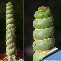 Eulychnia castanea varispiralis (forma spirale)