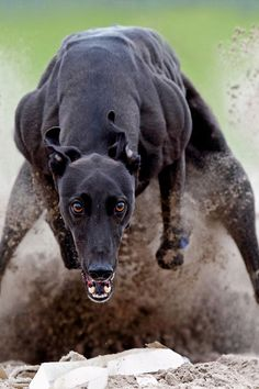 The Greyhound is a breed of dog; a sighthound which has been bred for coursing game and Greyhound racing. Greyhound Dog Breed, Greyhound Art, Whippet Dog, Italian Greyhound, Magyar Agar, Lurcher, Grey Hound Dog, Dog Photos, Beautiful Dogs
