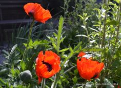 Papaver orientale a bright red in the early morning sunshine, within a day or two her petals fall but in the meantime the bees get their fill of nectar
