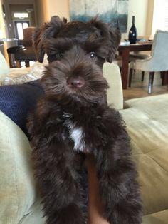 Black Schnauzer, Mini Schnauzer Puppies, Miniature Schnauzer, Animals And Pets, Baby Animals, Cute Animals, Cute Puppies, Cute Dogs, Little Dogs