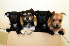 Awwww of the day: tiny tots Enid, Ebony, Edward and Elsa were found cruelly dumped in a box in Melbourne's west. Today they will go up for adoption and hope to find a home where they will be love and cherished for the rest of their lives. Can you give one of these gorgeous 8-week-old Chihuahuas a bright and happy future?