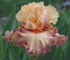 TALL BEARDED IRIS  Poster Girl  Ruffled apricot and rose flowers. Superb!