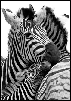 Loving zebra family