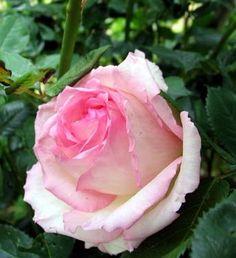 """ Honoré de Balzac "" (Meiparnin) - Floribunda, hybrid tea, Romantica rose - Mild to strong fragrance - Alain Meilland (France), 1997"