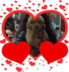 Bombón, el caniche más dulce. Enamorados de tus mascotas en Tienda de Animales El Cuélebre.
