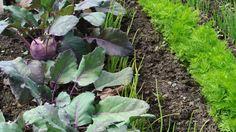 Eine Mischkultur nutzt die verschiedenen Ansprüche und Eigenschaften der Pflanzen, die sich dadurch gegenseitig unterstützen.