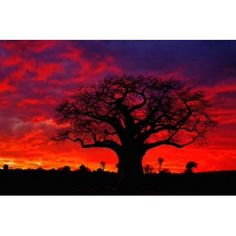 African baobab tree Tarangire National Park Tanzania Canvas Art - Adam Jones DanitaDelimont x Tanzania, Kenya, Adam Jones, Baobab Tree, Nature Photography, National Parks, Canvas Art, Walmart, African