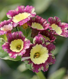Primula auricula 'Flemish Floozie' - Buy Online at Annie's Annuals & Perennials