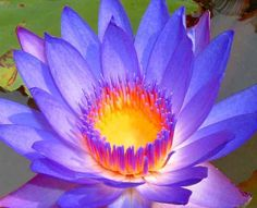 The lotus plant has been around for thousands of years and has many great health benefits. History - In fact when Buddha a child there were ponds of different colored lotus flowers outside his wind...