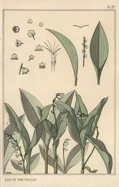 """Birth flower of May: """"Lily Of The Valley"""" - Botanical illustration by E. Hervegh from """"La Plante et Ses Applications Ornamentales"""", by Eugène Grasset, published by Eugène Lévy Art Nouveau Illustration, Illustration Botanique, Botanical Illustration, Botanical Drawings, Botanical Prints, Eugene Grasset, Fine Art Prints, Canvas Prints, Lily Of The Valley"""