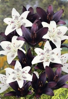 Asian tree lilies are a crossbreed cross in between Asiatic as well as Oriental lilies. These sturdy perennials share the most effective attributes of both varieties– big, beautiful flowers, lively shade and abundant, sweet scent. Maintain checking out to find out more tree lily info.