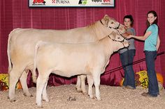 """Grand Champion Charolais Cow Calf Pair, 2017 Keystone International Livestock Expo    """"Sure Champ® keeps my show Cattle on feed at home and on the road. And Liquid Boost® keeps them drinking while we're at the show. I don't know what I'd do without my BioZyme® products."""" -Kaitlin Smith, VA"""