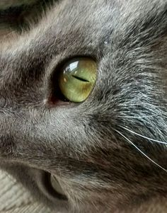 Russian blue cat. Igor