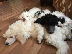 Nothing would be more fun than having a pile of poodles like this! They are clearly such good buddies. Tsu, Jax, Ember