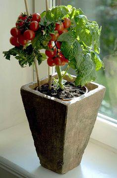 tomates em vaso