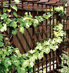 выращивание винограда, посадка винограда около забора
