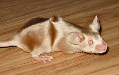 "Fancy mouse - Abyssinian mice have distinctive swirl patterns in their hair known as ""rosettes""."
