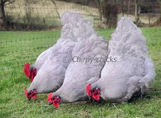 Lavender Orpingtons.  I *heart* them.  I want one to add to our family of hens.