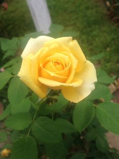 St. Patrick's Day by Weeks. We lost several roses to disease in 2012-2013.